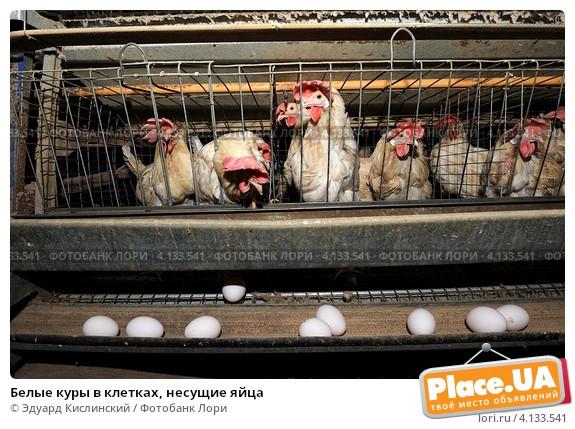 Клетки для выращивания куриц 510