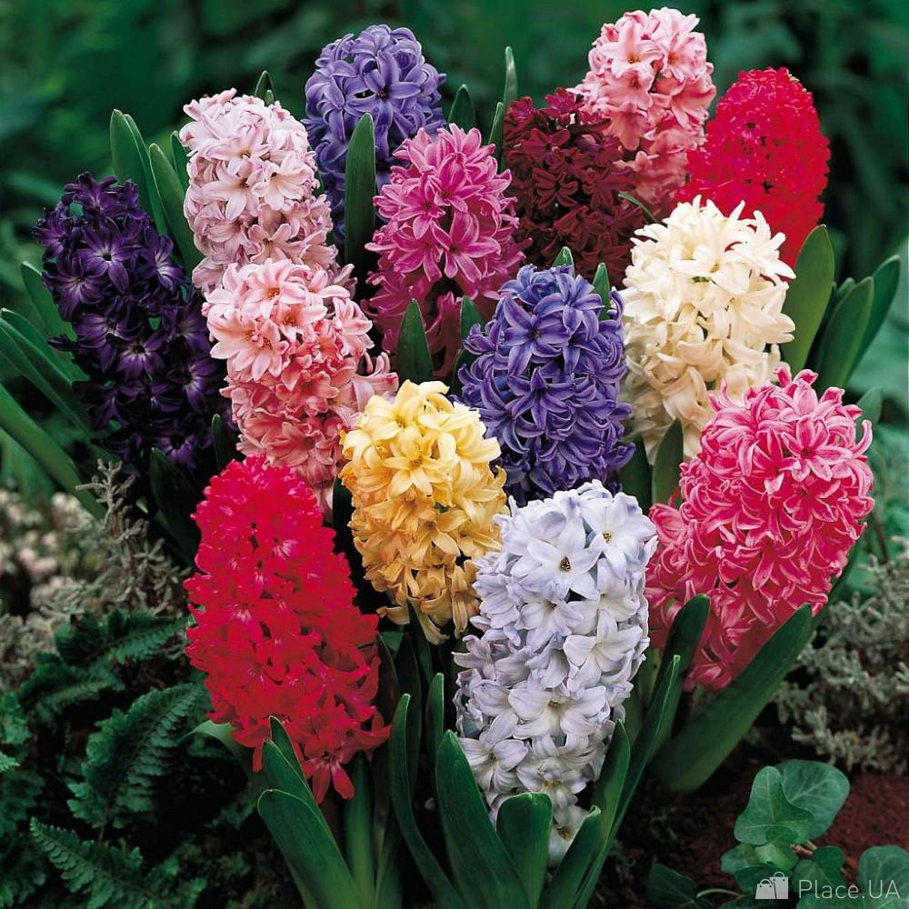 Луковичные уличные цветы фото и названия