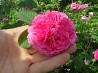 Чайная роза доставка из г.Днепр