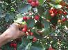 Саженцы крупноплодного боярышника доставка из г.Днепр