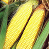 Семена кукурузы Афина Одесса