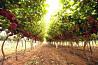 Черенки винограда, подвой доставка з м. Білгород-Дністровський