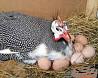 Инкубационные яйца и молодняк племенных цесарок Николаев