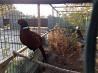 Фазаны, молодняк охотничьих фазанов. Нова Одеса