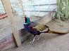 Фазаны, молодняк охотничьих фазанов. Новая Одесса