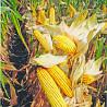 Семена кукурузы ДА Сонка от компании Brevant Seeds доставка из г.Кропивницкий (Кировоград)