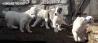 Щенки среднеазиатской овчарки возраст 2 месяца. Происходят по чемпионской линии. Николаев