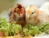 Цыплята кур несушек 40 ка дневки Запорожье