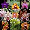 Орхидеи, Фаленопсис подростки сюрпризы Киев