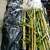 Ствол бамбука Киев