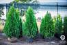 Туя Смарагдова, самшит, декоративні трави з Польщі від виробника Киев