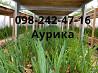 Продажа лук штутгарт на перо, зеленый лук (перо) доставка из г.Днепр