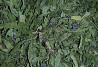 Кипрей, иван-чай (лист, цвет) 50 грамм Чернигов