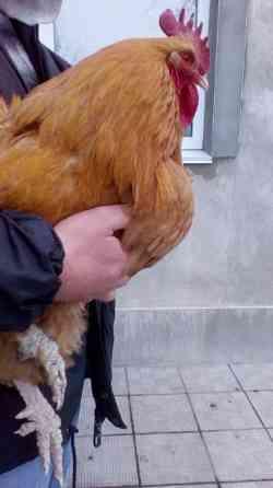 Яйца элитной мясо-яичной породы Орпингтон. Житомир