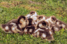 Инкубационные яйца разных видов птицы (кури, утки, гуси, индюки) из Венгрии. Выход 86% Харьков
