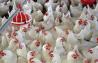 Работа в сфере животноводства. Работа в Польше Сумы